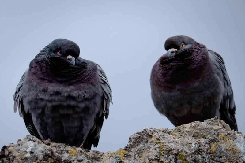 Des pigons à l'air louche (encore plus que les pigeons normaux)